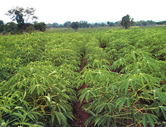 Experts task processors to invest in cassava seed system