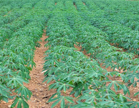 AfDB, Brazil to groom African youth in cassava processing