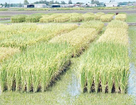 maize production, RIFAN, rice farming