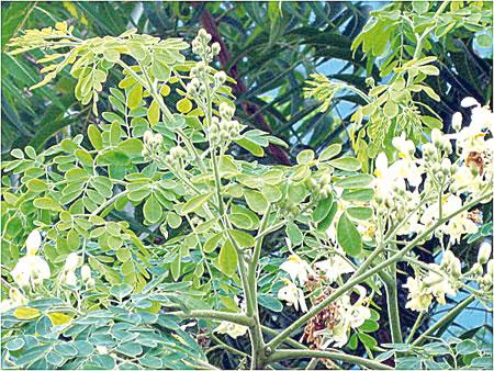 Moringa oleifera, like bitter kola, treats glaucoma —Study » Natural