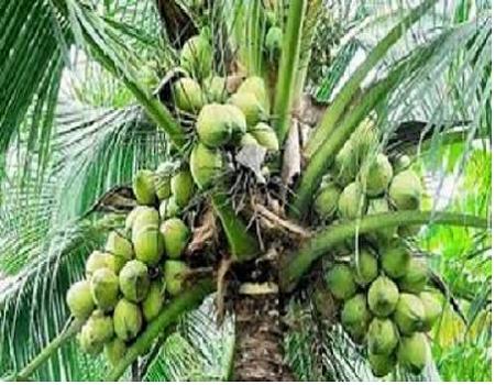 Coconut industry attracts over N50bn transaction annually in Lagos