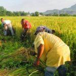 Improving welfare of women, youths rains kwara farmers, warehouse, Gombe, GMP, CBN, maize, rice farmers