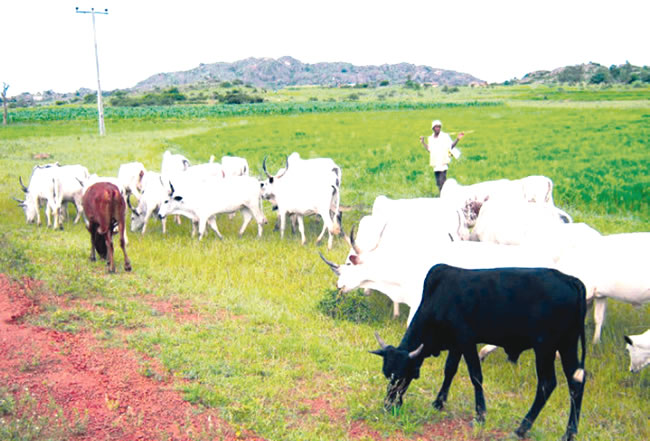 Ondo Amotekun three arrests herders, 180 cows for flouting anti-open grazing law